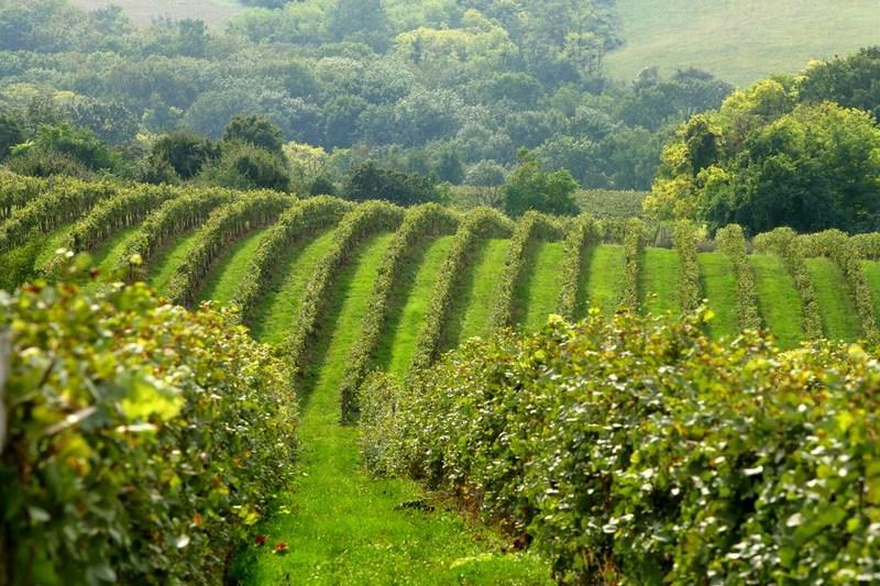 Hilltop szőlősor